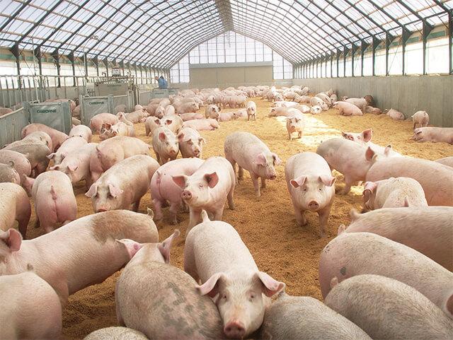日本のこめ豚(パルシステム)の飼育